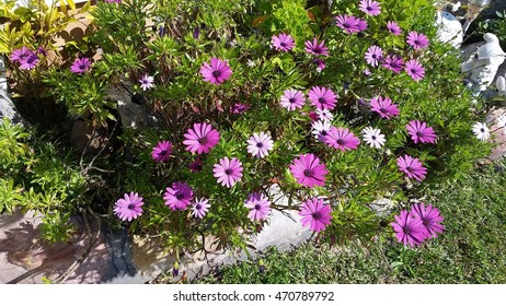 Bed of purple and lilac daisies