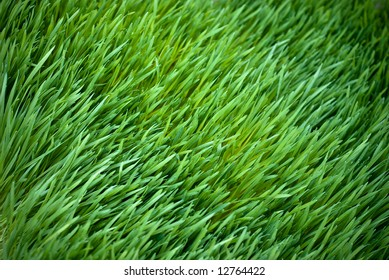 Bed of Wheatgrass
