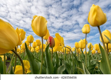 A bed of yellow tulips with one red tulip hidden in the crowd under a blue and cloudy sky