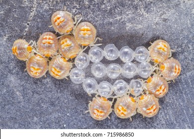 bedbugs recently hatched next to their shells