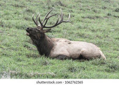 Bedded bugling bull elk