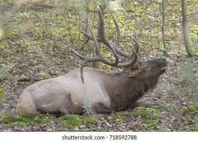 Bedded bugling bull elk - photograph taken in Elk County, Elk State Forest, Benezette, Pennsylvania.