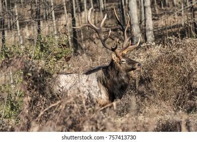 Bedded Bull Elk