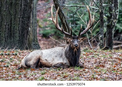 Bedded Bull Elk – Photographed in Elk State Park, Elk County, Benezette, Pennsylvania