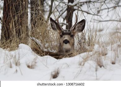 Bedded mule deer buck in the winter.