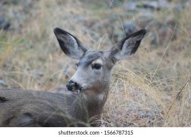Bedded mule deer close up in woods