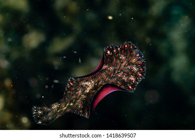 Bedford's flatworm, Pseudobiceros bedfordi, is a species of flatworm in the family Pseudocerotidae