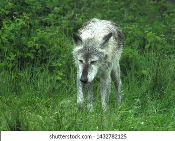 Bedfordshire, UK - June 2019 – Canadian Timber Wolf (Canis Lupus) (Grey Wolf) at Woburn Conservation And Safari Park