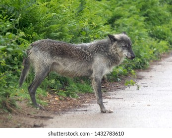 Bedfordshire, UK - June 2019 – Canadian Timber Wolf (Canis Lupus) (Grey Wolf) Crossing Over at Woburn Conservation And Safari Park