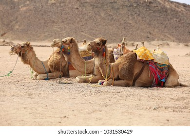 Bedouin camels in row on sand in Egyptian desert. Tourism and traveling concepts.