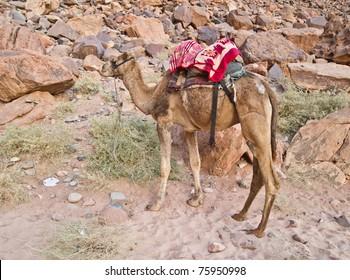 Bedouin camels in the Wadi Rum desert, Jordan