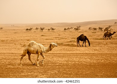 Bedouin herd of camels near Rasafa. Male camel in front. Sand storm rising panorama.
