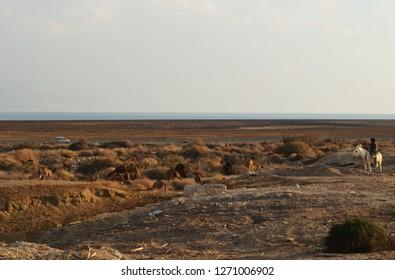 Bedouin man on white donkey watching camel herd in Judean desert, close to Qumran National Park, Israel