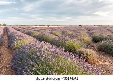 Beds of lavender at sunset Provence, France