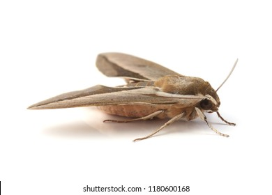 Bedstraw hawk-moth (Hyles gallii) isolated on white background