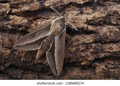 Bedstraw hawk-moth (Hyles gallii) on bark. Closeup