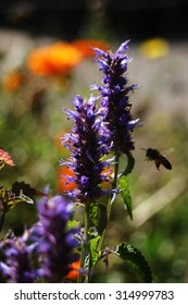 Bee in Anise Hyssop