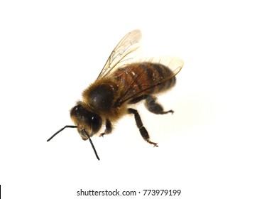 Bee, Apis, mellifera