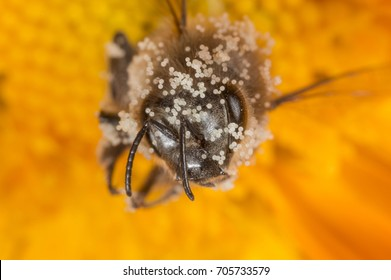 a bee apis mellifera in a flower with pollen