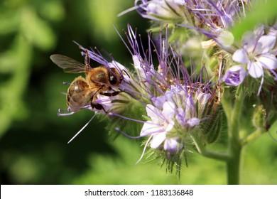 Bee, apis mellifera and honey plant phacelia.