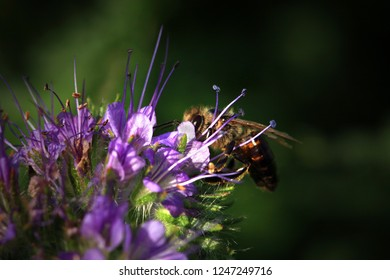 Bee, apis mellifera and honey plant phacelia. A honey and pollen plant also cultivated for beekeeping