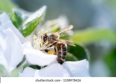 Bee - Apis mellifera - pollinates a blossoming apple tree - Malus domestica - in spring