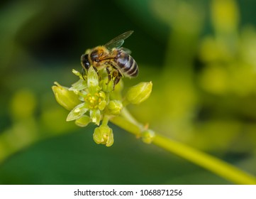 Bee (apis mellifera) pollinating avocado flower (persea americana)