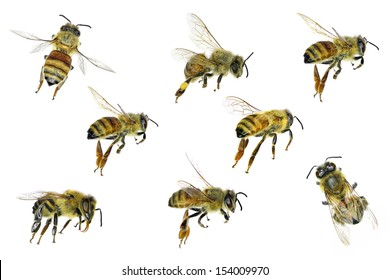 Bee (Apis mellifera). Variations isolated on the white background