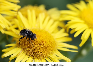 The bee assiduously and laboriously pollinates a beautiful flower. An insect collects pollen on its feet. A macro shows in detail the beauty of a flower and a fly. Spring flowering and revitalization