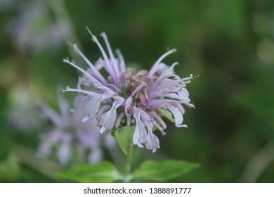 Bee Balm specimen sample growing in Ontario Canada.
