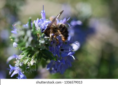 Bee being observed by a beetle while collecting nectar and pollen in violet flower