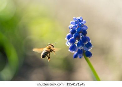 Bee and a blue flower