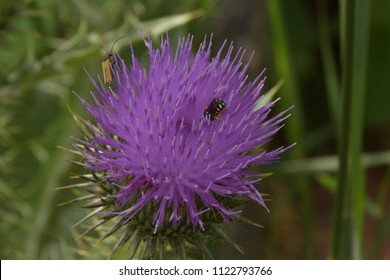 Bee and bug on Flower Burdock