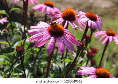 bee, bumblebee, echinacea, echinacea purple, flower, natural, summer