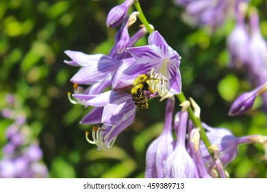 Bee (bumblebee with pollen) on purple hosta blossom pollinating flower