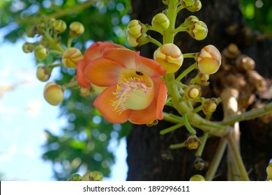 A bee with a cannon ball flower,Cannonball Tree or Sala Tree Cannonball Flower or Sala Flower with blur background