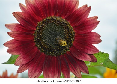 Bee Careful - Bee on a Red Sunflower