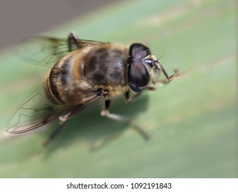 Bee closeup on a leaf from a portuguese meadow - Shutterstock ID 1092191843