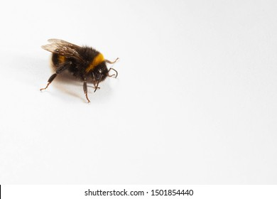 bee close-up, yellow stripes, wings are folded, on a white background, daylight, place for text