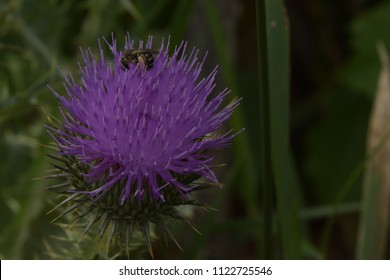 Bee collect pollen on Flower Burdock