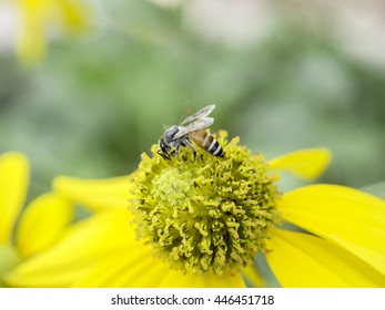 Bee collecting honey on yellow flower