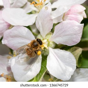Bee collecting nectar in an apple flower