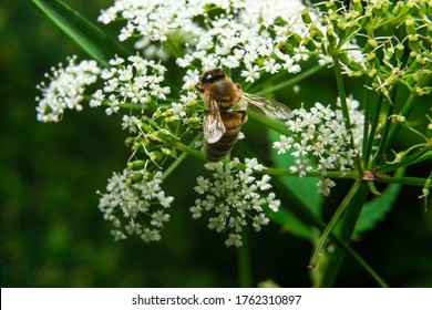 A bee collecting nectar. The concept of biology and flying insects. The bee collects nectar from flowers, and nectar on the legs. Bee's usefulness, protection.