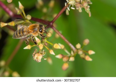 A bee collecting nectar from the flowers of wild grapes
