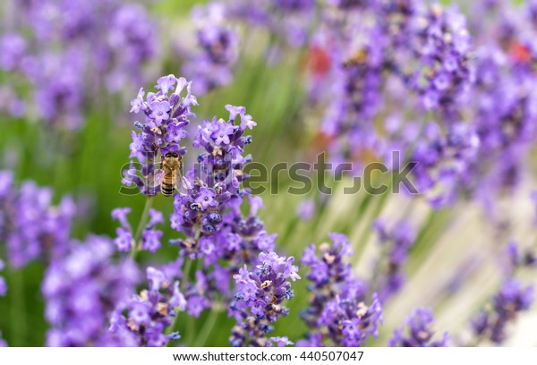 Bee collecting nectar from a lavender flower