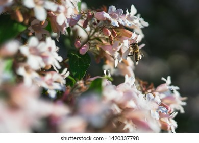 A Bee collecting Nectar on a Tree with pink white Blossoms. The Background is blurred.