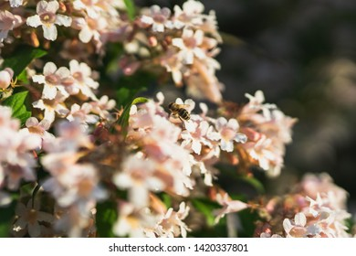 a Bee collecting Nectar on a Tree with pink white Blossoms.