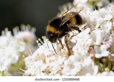 Bee collecting nectar and pollen for the hive