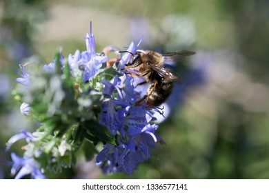 Bee collecting nectar and pollen in violet flower