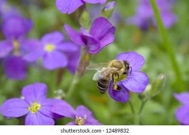 bee collecting nectar from Violet Flower